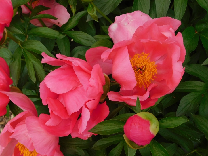 Peony blossoms in May