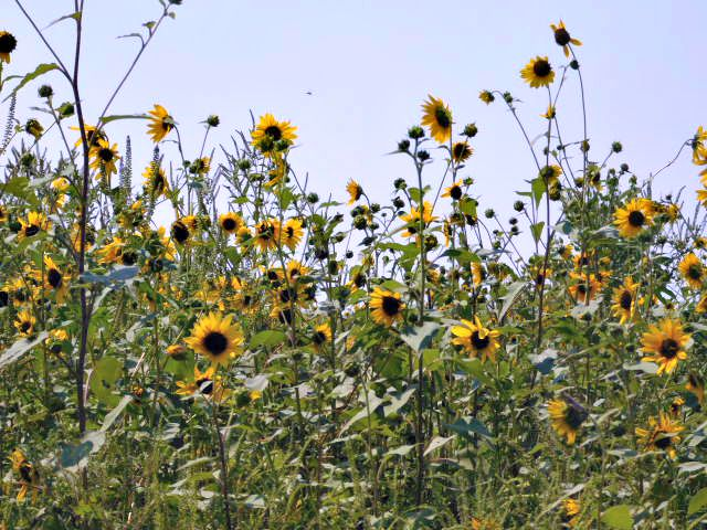 Wild sunflower field 2