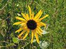 One wild sunflower bloom