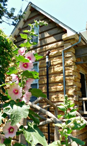 Hollyhocks pinterest