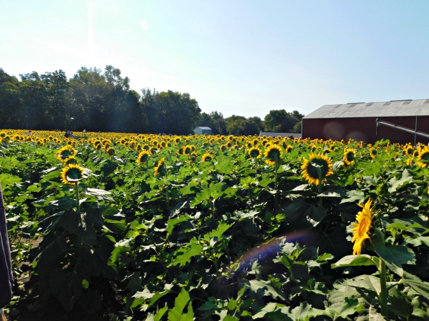 Sunflowers seek the sun at Grinter's Farm in Lawrence Kansas