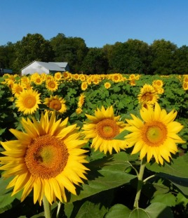sunflowers-2