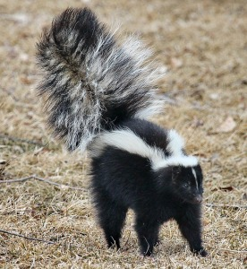 Skunk, Public domain photo downloaded from Pixabay.com