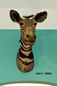 Safari Museum Zebra Head